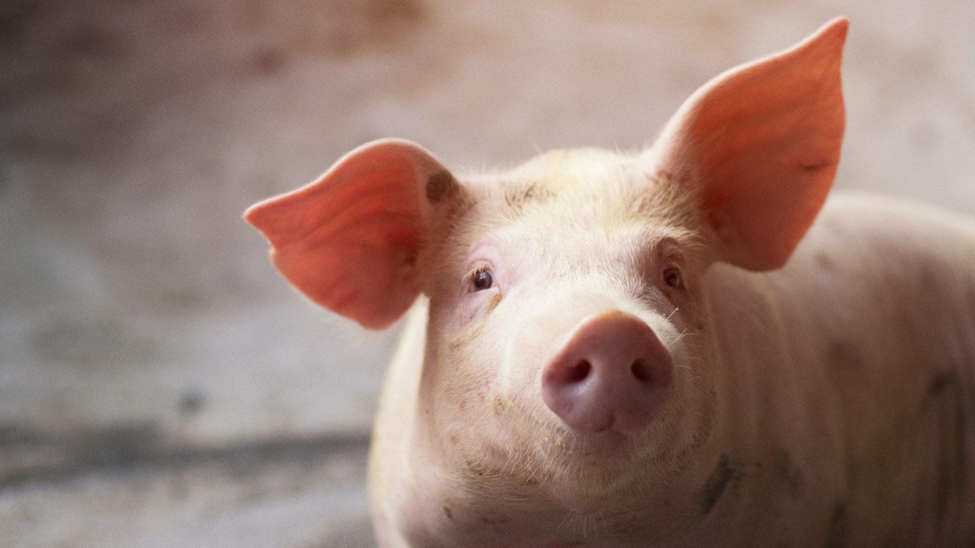 gripa porcina tratament)